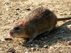 220px-rattus_norvegicus_-fairlands_valley_park2c_stevenage2c_england-8