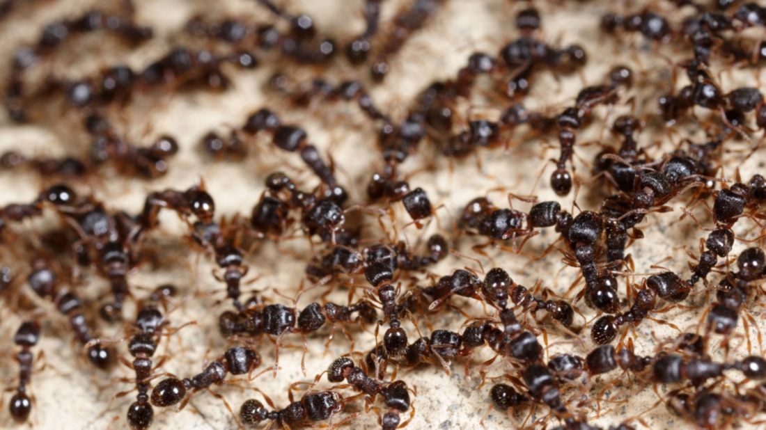 Ant problems in business premises