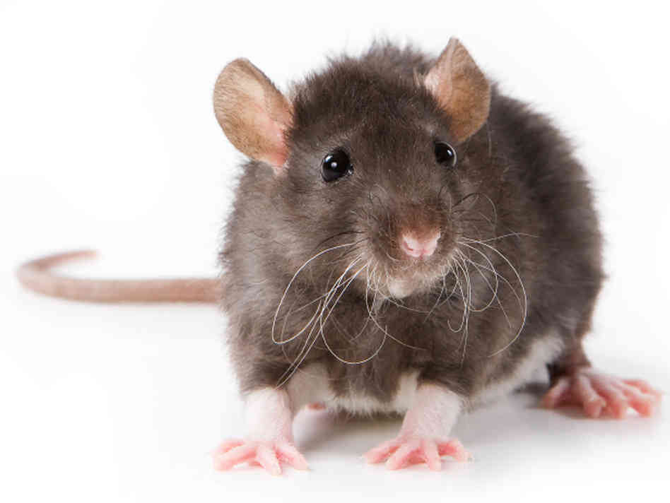 Get Rid of rodents