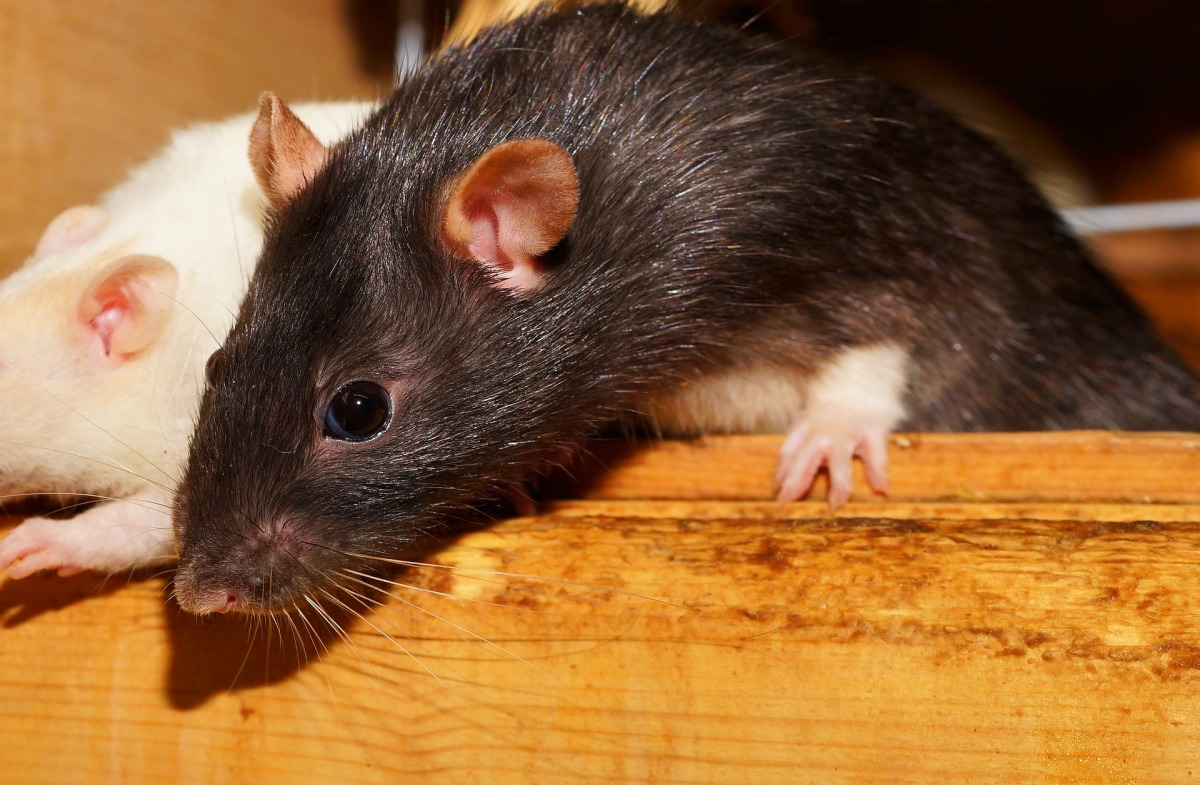 Why Are Rats A Problem In New Zealand?